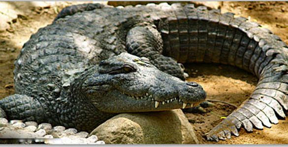 Crocodile Bank - mahabalipuram